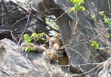 Indian Wildlife Tours, Pench Wildlife Sanctuary, Pench Wildlife Sanctuary India, Wildlife Parks in Madhya Pradesh, Wildlife National Park of Pench, Wildlife Trips to Pench India, Wildlif Parks in Pench India, Wildlife Safari in India, Wild life tours, Wildlife Resorts in Madhya Pradesh, Indian Wildlife Ssafari, Wild Life Parks in Madhya Pradesh, Mahua Van Wildlife